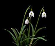 nivalis galanthus Στοκ φωτογραφίες με δικαίωμα ελεύθερης χρήσης