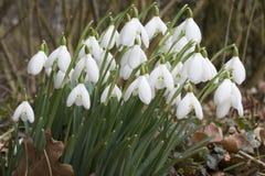 Nivalis Galanthus - Snowdrops Стоковая Фотография