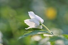 Nivalis L de Galanthus de perce-neige de perce-neige Images libres de droits