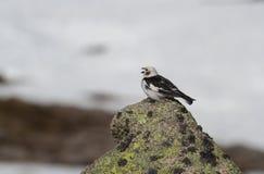 Nivalis maschii di canto di un Plectrophenax dello zigolo delle nevi in piume di estate, su su nelle montagne scozzesi con un fon Fotografie Stock