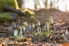 Nivalis van Galanthus van de sneeuwklokjebloem in het ijzige zonnige bos Royalty-vrije Stock Fotografie