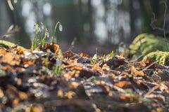 Nivalis van Galanthus van de sneeuwklokjebloem in het ijzige zonnige bos Royalty-vrije Stock Afbeelding