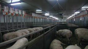 Niveau du compartiment 4 de ferme de porc banque de vidéos