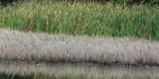 Niveaus van watervegetatie bij de kust van een meer: geel gras Royalty-vrije Stock Afbeelding