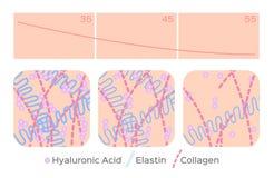 Nivel de piel de envejecimiento/ácido hialurónico/elastina/colágeno stock de ilustración