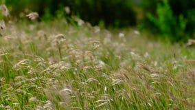 Nivelando a grama de sopro da brisa que desperta video estoque