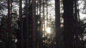 Nivelando rupturas do sol através das árvores na floresta video estoque