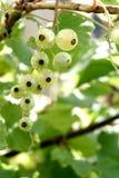 Niveum do Ribes Fotografia de Stock