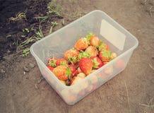 Żniwo dojrzałe truskawki w zbiorniku Zdjęcie Royalty Free