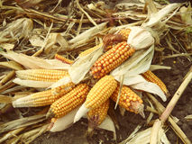 Żniwo kukurydzani cobs niskiej jakości Obrazy Royalty Free
