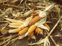 Żniwo kukurydzani cobs niskiej jakości Obraz Stock
