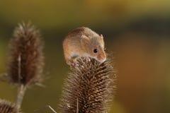 Żniwo mysz Zdjęcie Stock