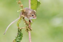 Żniwo mysz, Micromys minutus fotografia stock