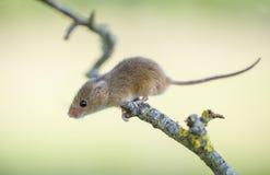 Żniwo mysz - Micromys minuty obrazy stock