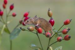Żniwo mysz - Micromys minuty obrazy royalty free