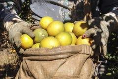 Żniwo pomarańcze Zdjęcia Stock