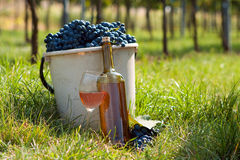 Żniwo winograd fotografia stock