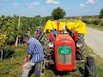 Żniwo winogrona - Banat zdjęcie stock