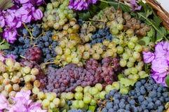 Żniwo winogrono Zdjęcia Royalty Free