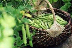 Żniwo zieleni świezi grochy podnosi w koszu Zieleni grochowi strąki na rolniczym polu Ogrodnictwa tło z zielenią Zdjęcia Royalty Free