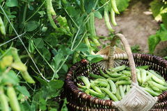 Żniwo zieleni świezi grochy podnosi w koszu Zieleni grochowi strąki na rolniczym polu Ogrodnictwa tło z zielenią Zdjęcie Stock