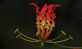 'Niyagala' blomma Arkivbild
