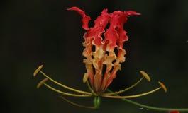 'Niyagala' kwiat Fotografia Stock
