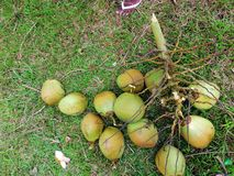 Niyog & x28; Coconut& x29; стоковое изображение