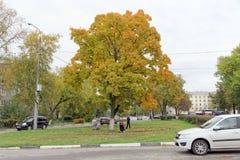 Nizhny Novgorod俄国 - 10月06日 2017年 与五颜六色的叶子的豪华秋天槭树在城市风景 免版税库存图片