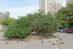 Nizhny Novgorod, Rusland - 26 september 2017 Favoriete struik van B Stock Foto
