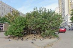 Nizhny Novgorod, Rusland - 26 september 2017 Favoriete struik van vogels van duiven en mussen op de straatboulevard van de Wereld Stock Foto