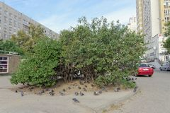 Nizhny Novgorod, Russia. - September 26.2017. Favorite bush of birds of pigeons and sparrows on the street Boulevard of the World. Stock Photo