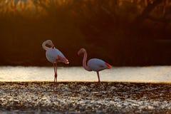 Nizza rosa großer Vogel zwei Flamingo, Phoenicopterus-ruber, im Wasser, mit Abendsonne, Camargue, Frankreich Szene der wild leben Stockbilder