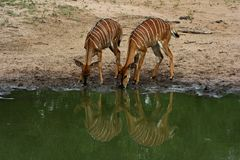 Njala. Drinking water in Africa Royalty Free Stock Image