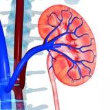 njure Arkivfoto