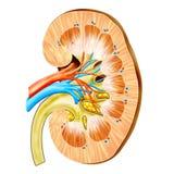 njure Arkivbild