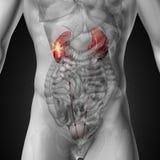 Njure - manlig anatomi av mänskliga organ - röntgenstrålesikt Arkivfoto