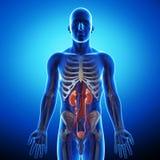 Njure med det mänskliga urin- systemet royaltyfria foton