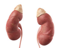 Njuren Arkivbilder