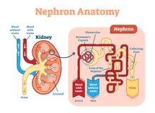 NjureNephron anatomi, intrig för vektorillustrationdiagram vektor illustrationer