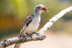 Nkorho ptak Obraz Stock