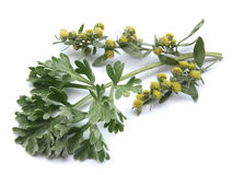Nnis αψήνθου (Artemisia άψηνθος)) Στοκ Εικόνες
