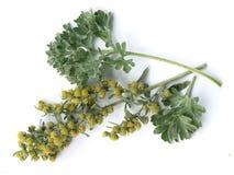 Nnis αψήνθου (Artemisia άψηνθος)) Στοκ φωτογραφία με δικαίωμα ελεύθερης χρήσης