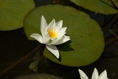 Rivière avec la fleur Photos stock