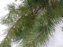 Noël, arbre, d'isolement, blanc, fond, Noël, sapin, vert, vacances, hiver, saison, pin, saisonnier, décoration, joyeuse, neige Photographie stock libre de droits