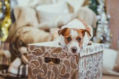 Noël de chien, nouvelle année, Jack Russell Terrier Photographie stock