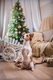 Noël de chien, nouvelle année, Jack Russell Terrier Photos stock
