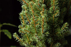 Noël ma version de vecteur d'arbre de portefeuille Branches d'arbre de sapin macro Sapin bleu canadien Image stock