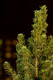 Noël ma version de vecteur d'arbre de portefeuille Branches d'arbre de sapin macro Sapin bleu canadien Images stock