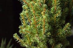 Noël ma version de vecteur d'arbre de portefeuille Branches d'arbre de sapin macro Sapin bleu canadien Photos libres de droits